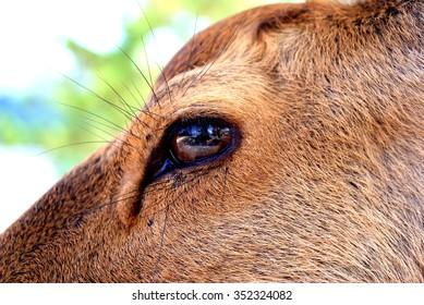 Deer's eye.