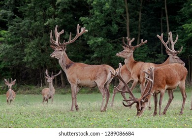 Deers in the forest of Gerecse Mountains in Hungary