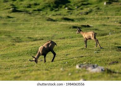 The deers grazing in green fields, Villach, Gerlitzen, Austria