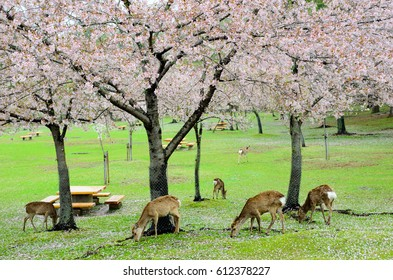 Deers in Nara park are trying to seek food under the cherry blossom tree, Nara, Japan