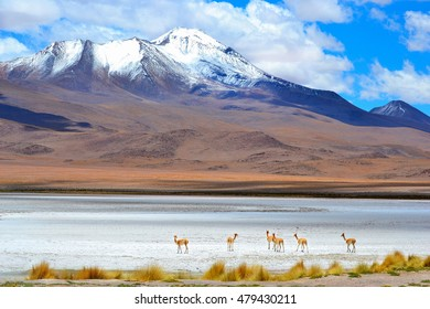 Deers on the clear lake in bolivia