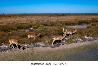 deers on the lakeshore in autumn, aerial view of deers in the autumn steppe, sika deers in the autumn steppe, Herd of deer in autumn steppe aerial, aerial view of deers in the wild