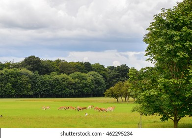 Deers in the Phoenix park, Dublin, Ireland.