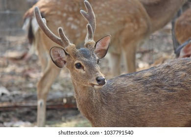 Deers,  they live at a zoo in Thailand  Asia,  for the research and the reproduction.