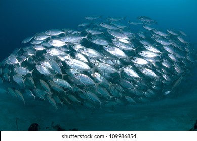 Defensive school of silver fish