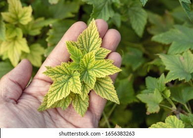 Deficiency of minerals in plant. lack of nitrogen, potassium. Sick yellow currant leaves