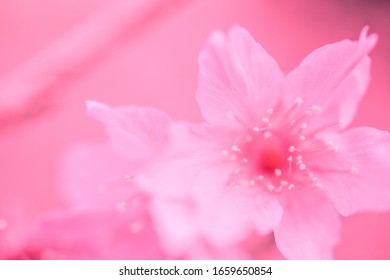 defocus and close-up of sakura (cherry blossoms). dreamy pink background.