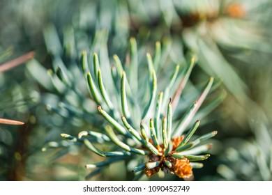 Defocus floral background Branch of spruce