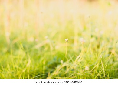 Defocus of green grass with warm sunlight background.