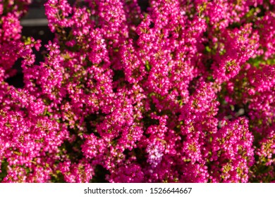 Defocus Heather Erica blossom with bright pink fuchsia flowers, top view background. Fresh natural heather flower, Erica branch blooming in autumn