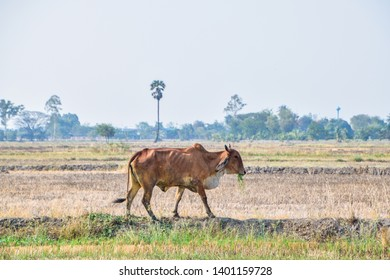 Defocus  of Thai Cow - Brown cow eating green grass in the middle of the rice fields in rural Thailand, Dry rice fields after harvesting rice in summer season