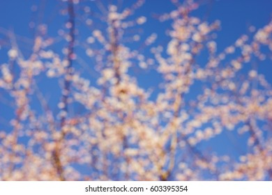 Defocused blooming cherry in the sunny day