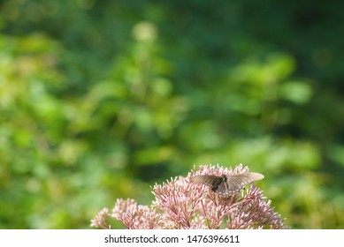 Defocused blurred background including black swallowtail butterfly feeding from a blooming purple Joe-Pye Weed wild flower in corner with room for text or image.