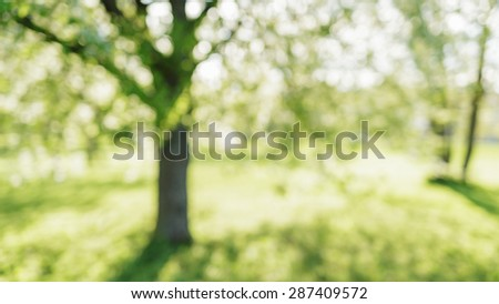 defocused bokeh background of apple garden with blossoming trees  in sunny day, backdrop