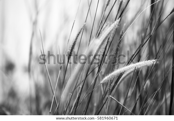 Defocused and bokeh background of cogon grass in black and white