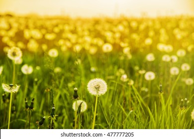 De-focused dandelion on the meadow at sunlight nature background Spring meadow flowers on the summer field at sunlight backdrop Sunny evening on forest trees and sky sun light
