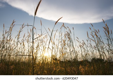 Defocussed ears of wheat with blue sky on background