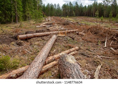 Deforestation in the coniferous forest. On the site of the ship pine and spruce. Harvesting of wood in the coniferous forest. Lay felled trees. Deforestation in Belarus.