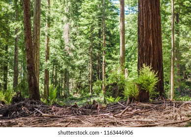 Deforestation in the old redwood forests of Humboldt County, Northern California. Regrowth is visible on a few cut stumps. Foreground is littered with dead branches.