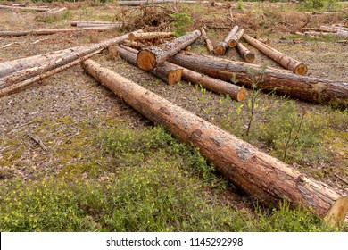 It's deforestation. On the site are carvel pines. Harvesting of wood in the coniferous forest.
