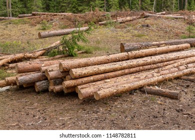 It's deforestation. On the site of the ship pine and spruce. Harvesting of wood in the coniferous forest. Lay felled trees. Deforestation in Belarus.