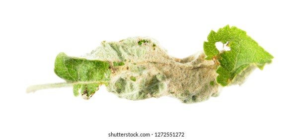 Deformed green leaf of apple tree isolated on white background. Gall of Phyllocoptes malinus on apple leaf