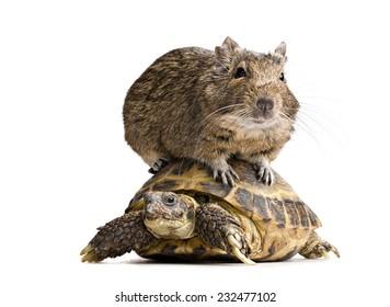 degu hamster riding on tortoise shell full-length front view isolated on white background