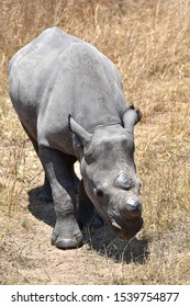 A dehorned female Black Rhino (Diceros bicornis), a Critically Endangered species, in its natural habitat in Zimbabwe. The dehorning is to mitigate poaching of the animals for their horns.