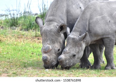 A dehorned mother and calf Black Rhino (Diceros bicornis), a Critically Endangered species, feeding next to a waterhole in Zimbabwe. The dehorning is mitigate poaching of the animals for their horns.