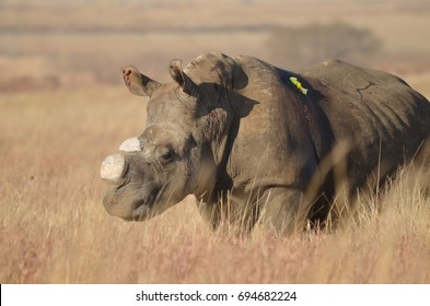 Dehorned White Rhino after poaching incident in South Africa