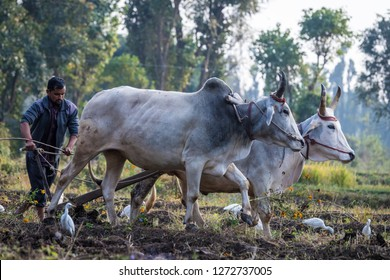 Dehradun, India - November 6 2018: Man plowing a field with oxen surrounded by wild birds at Navdanya Biodiversity Conservation Farm.