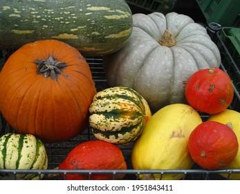 Dekorative and colored varieties of pumpkins in autumn