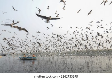 Delhi / India - 11/14/2017: A man feeding a flock of migratory Seagulls in Yamuna RIver in Delhi, India.