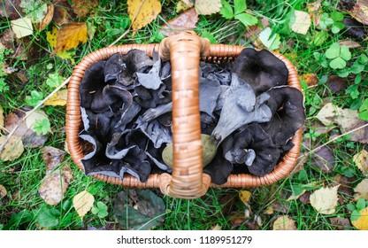 Delicacy mushrooms, black chanterelles Craterellus cornucopioides in the basket