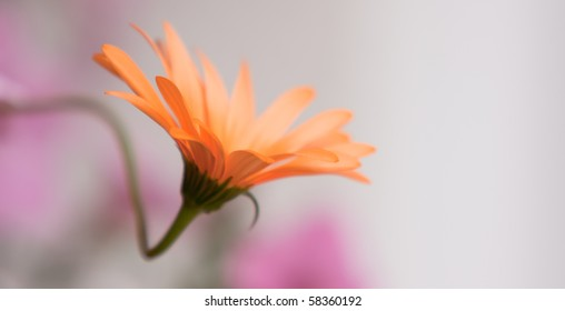 A delicate African Daisy - Osteospermum Kenai Pineapple Blush - Closeup in late afternoon soft light