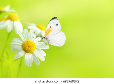 Delicate beautiful light green natural summer spring background pattern with daisies and a white butterfly macro. Light airy exquisite artistic image of nature. Gentle breath of nature .