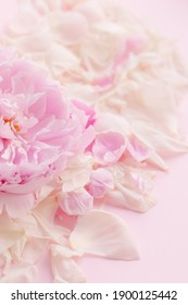 Delicate beautiful pink color floral background. Peony flower and petals. Spring romance tenderness love. Copyspace place for text. Banner postcard. Mother's Day 8 March. Flowering buds bloom flora