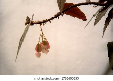 delicate begonia flowers on wall background