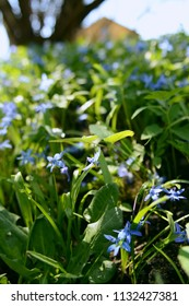 Delicate bell-shaped blue siberian squill flowers growing wild among green foliage