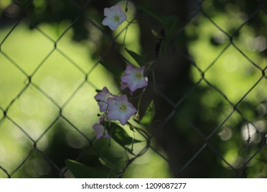 delicate bindweed on the fence