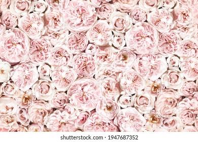 rosafarbene Rose, floraler Hintergrund