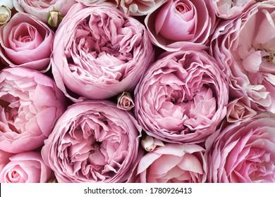 Feine blühende Rosenblumen, blühender pastellfarbener festlicher Hintergrund, weiche rosa Blumenkarte, Ton