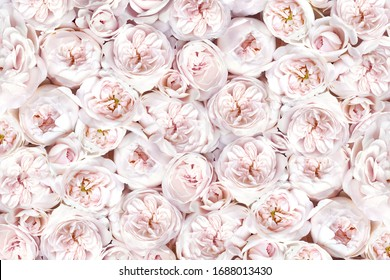 Delicate blossoming roses, blooming flowers festive background, pastel and soft bouquet floral card, toned