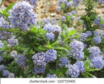 Delicate blue Ceanothus flower clusters. Norfolk, England, UK.