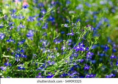 Delicate blue flowers. Lobelia. Botanical garden. Sunny day. Summer. Floral background. Selective focus.