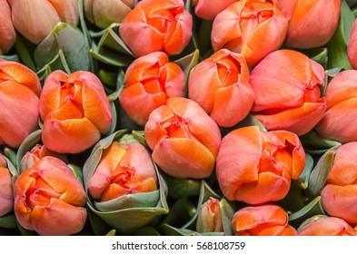 Delicate bouquet of red and orange tulips Forgotten Dreams for  your design.