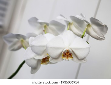 Delicate branch of white orchid flowers on a white background. Wallpaper design