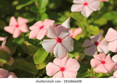 Delicate Catharanthus flowers in the Park