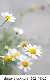 delicate chamomile on a gray background