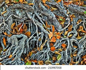 The delicate and complex root system of a big tree exposed by drought in Northern California, USA. Some dry leaves have fallen on the tree roots, adding a colorful touch to the scene.